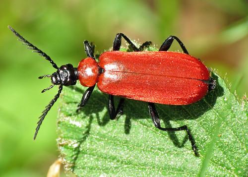 Cardinal Beetle - Pyrochroa coccinea