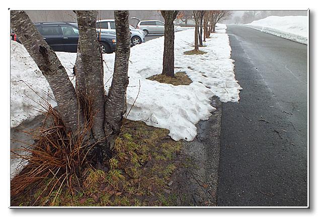 駐車場の植樹達.思い思いの形に根開きをしている.