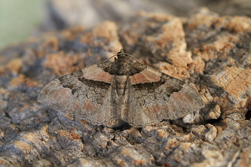 Ruddy Carpet (Catarhoe rubidata)