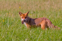coyote(0.0), animal(1.0), prairie(1.0), red wolf(1.0), mammal(1.0), jackal(1.0), grey fox(1.0), fauna(1.0), red fox(1.0), dhole(1.0), kit fox(1.0), meadow(1.0), wildlife(1.0),