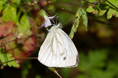 arthropod, pollinator, animal, moth, moths and butterflies, butterfly, flower, leaf, wing, nature, invertebrate, macro photography, flora, fauna, cabbage butterfly, close-up,
