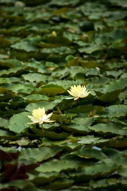 Lotus by TT300