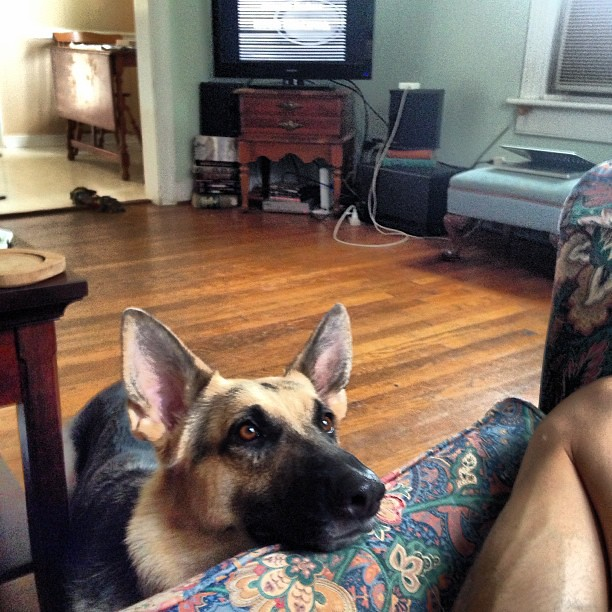 She is deeply in love with Jonathan. And ginger cats. #germanshepherd #pyrrhagram