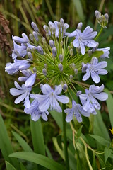 AGAPANTHUS 'African Moon'