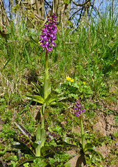 Early Purple Orchids (Orchis mascula) - Photo of Montabard