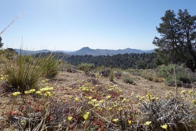 Desert dandelions, m613