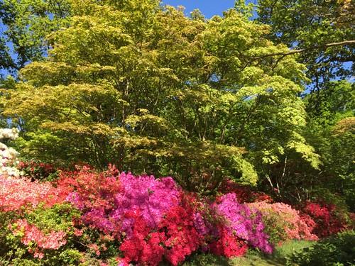 2015-05-16 Evergreen azaleas at Exbury Gardens (1) © Marie-Louise Agius