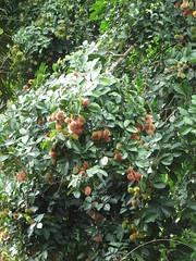 Ramboutans - fruits