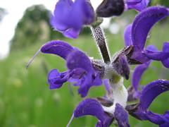 plant(0.0), common sage(0.0), eye(0.0), flower(1.0), purple(1.0), violet(1.0), english lavender(1.0), lavender(1.0), lilac(1.0), lavender(1.0), macro photography(1.0), herb(1.0), wildflower(1.0), flora(1.0), petal(1.0),