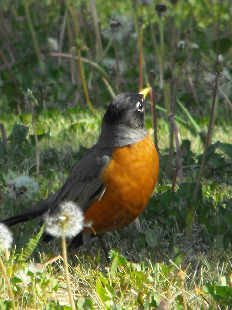 Robin in the Dandelion Forest