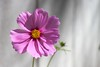 Still Time for Late Season Cosmos