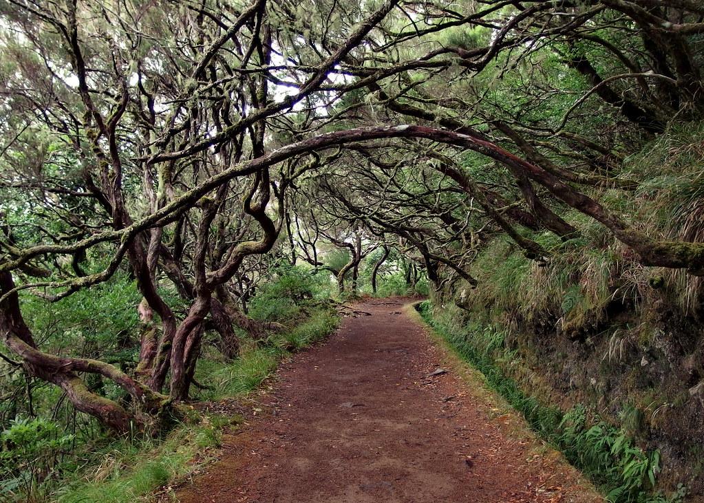 Laurel trees / Lorbeerbäume
