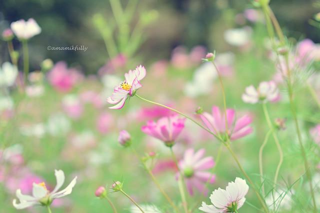 コスモス 秋桜 Cosmos