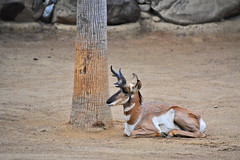 Peninsular Pronghorn at the Los Angeles Zoo