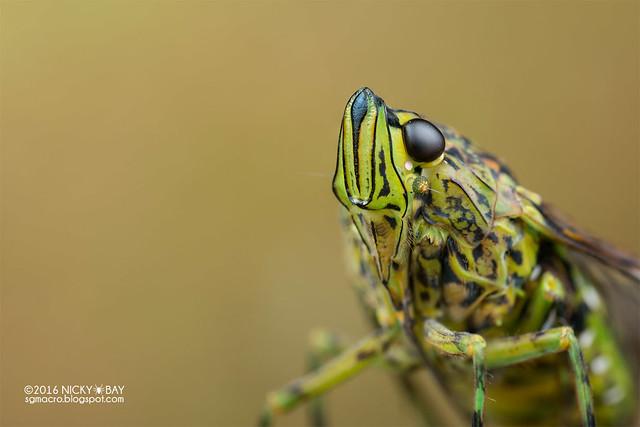 Planthopper (Dichoptera) - DSC_3047