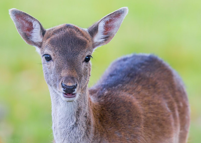 Deer, Canon EOS-1D X, Canon EF 500mm f/4L IS + 1.4x