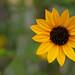Rudbeckia Triloba Flower by Galib Emon