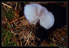 Pied bleu (Lepista nuda)