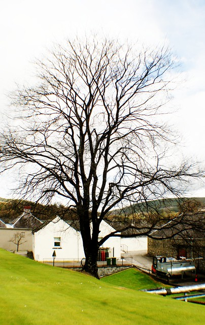 Alcohol Fungus Coated Tree at Glenfiddich Distillery