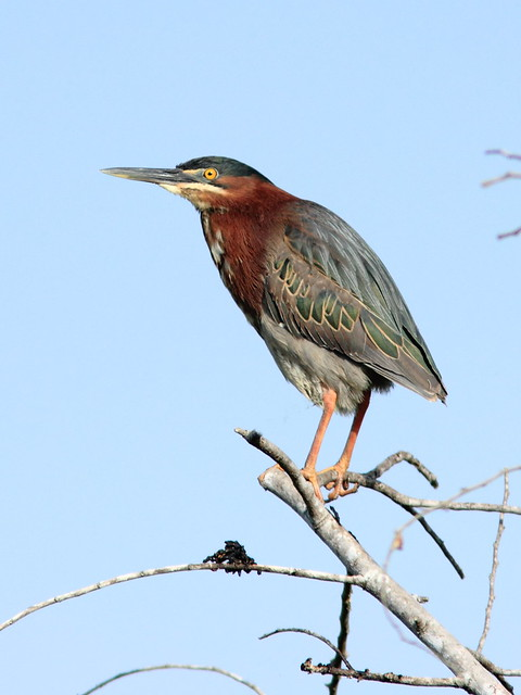 Green Heron 2-20120410