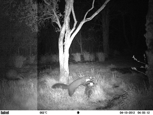Badger and marten