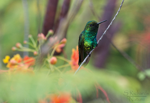 Blue tailed emerald hummingbird