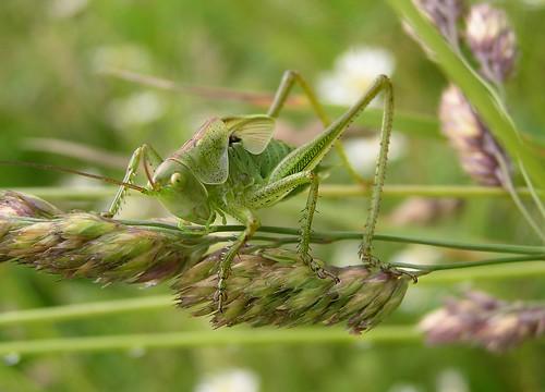 Tettigonia viridissima - Great green bush-cricket - Grande sauterelle verte - 18/06/12