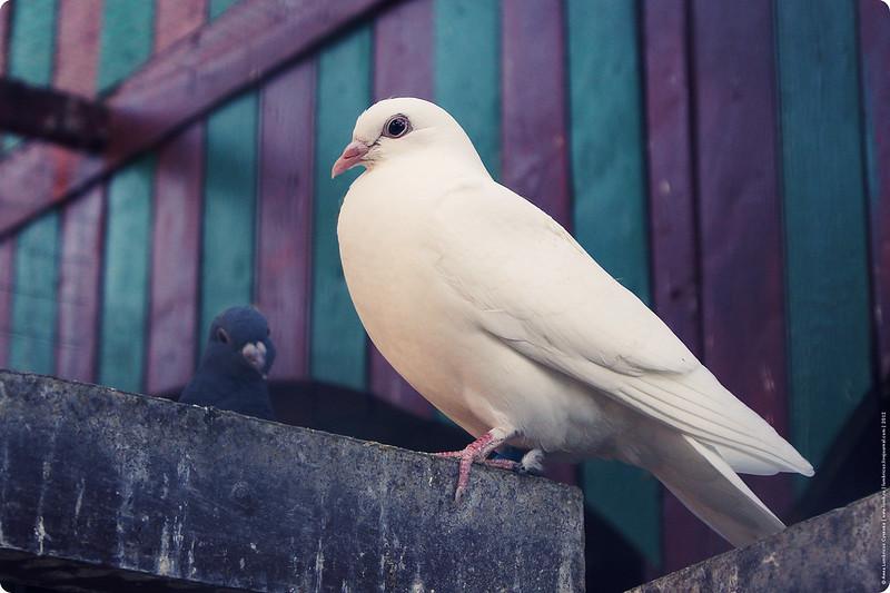 голуби в саду Эрмитаж