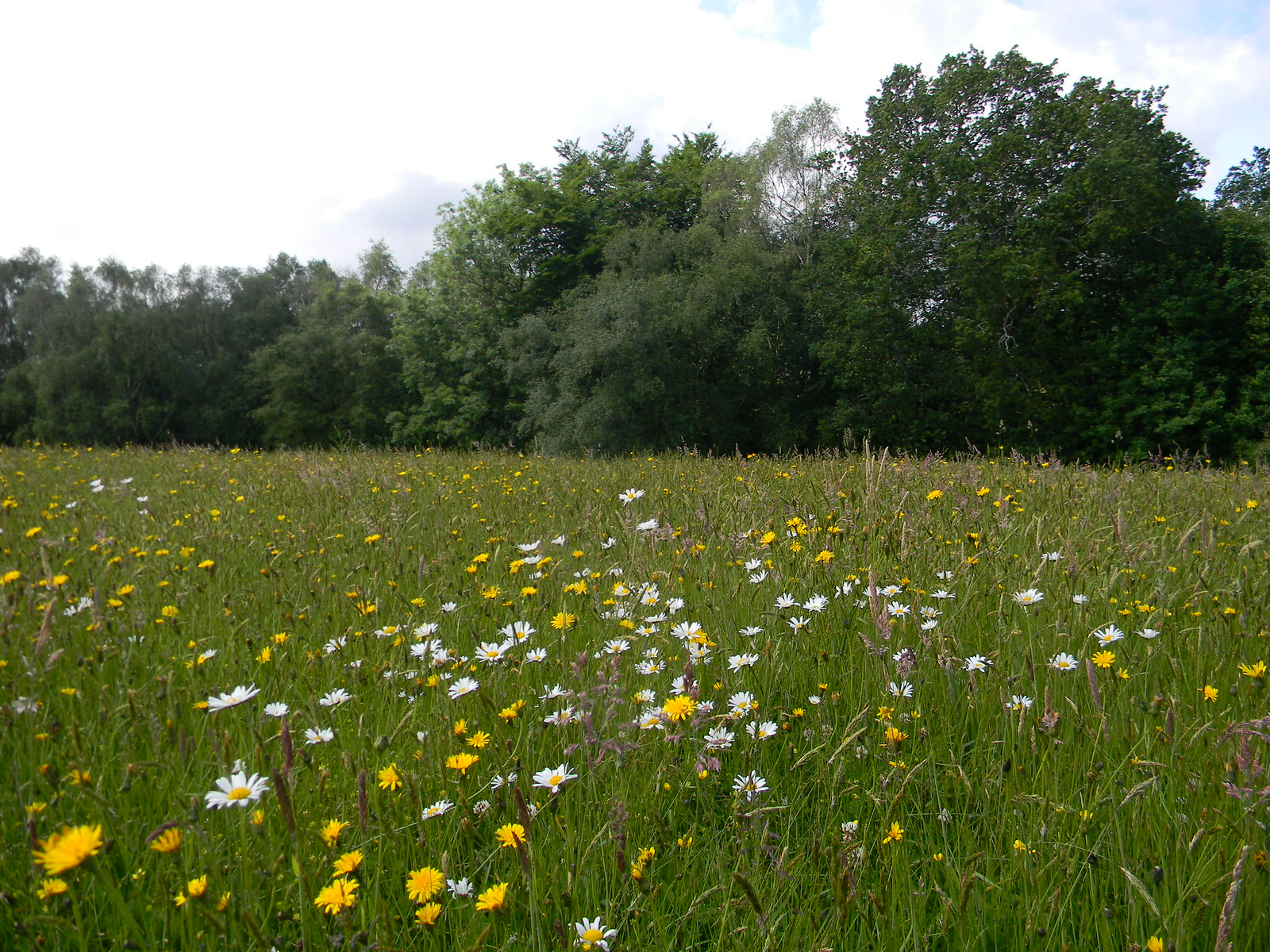 Wildflower meadow Valewood Park Haslemere to Midhurst