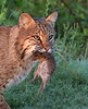 Bobcat with Prey