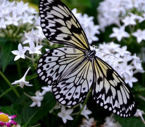 blackandwhite kite nature paper cincinnati ngc butterflies insects npc mariposas schmetterling krohnconservatory farfalle paperkite 2013butterliesofmorocco jennypansing