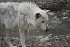 animal, canis lupus tundrarum, gray wolf, mammal, fauna, greenland dog, wolfdog, wildlife,