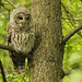 Owl, Barred-IMG_3615 copy