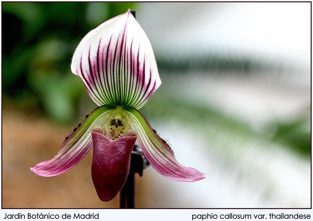 paphio callosum var. thailandese