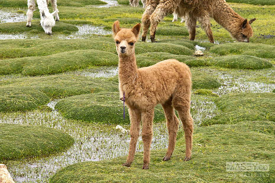 Alpaca grazing in the Peruvian alpine.