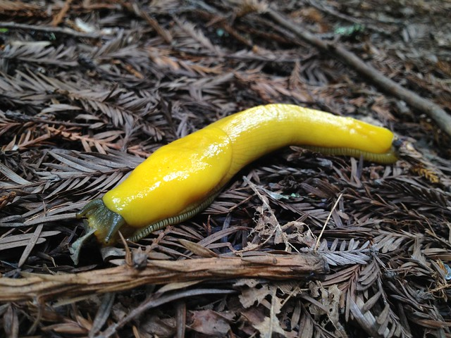 Yellow banana slug