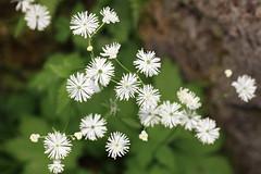 Columbine Meadow Rue / Thalictrum aquilegifolium var. intermedium / 唐松草(カラマツソウ)
