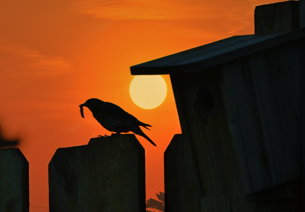 bluebird perched on fence as sun sets in minnesota minnpics