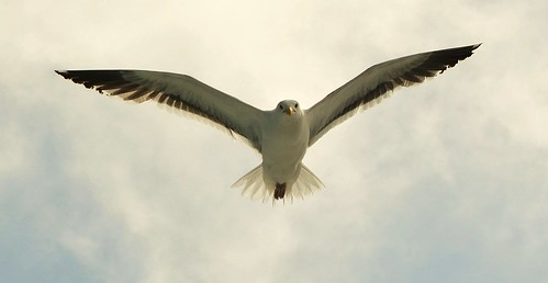 Gull on the Wing by hpromise-Jean Kohut'