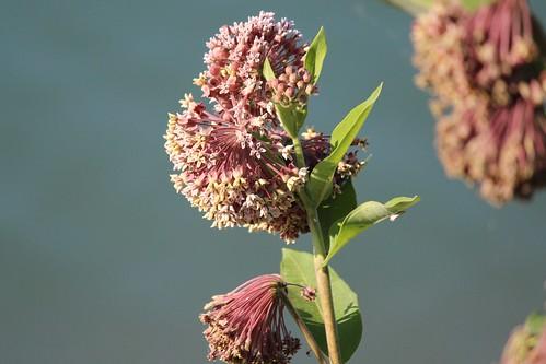IMG_0496_Milkweed_Flower