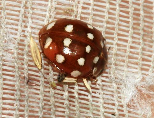 Cream Spot Ladybird 19989