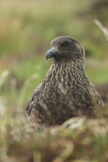 Bonxie- Portrait of Menace