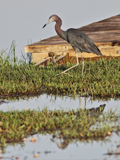 Little Blue Heron 20130720