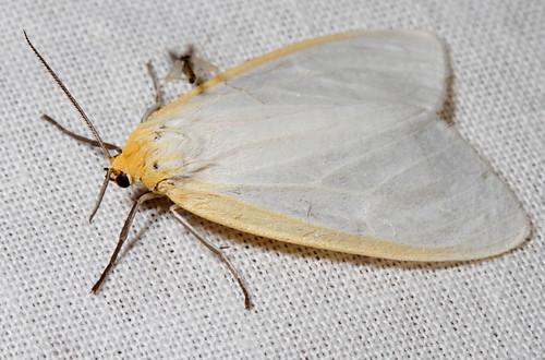 insect nc moth july northcarolina lepidoptera fieldtrip arctiinae coastalplain eol bmna erebidae canonefs60mmf28macrousm delicatecycnia cycniatenera cycnia medocmountain taxonomy:binomial=cycniatenera medoc20130710