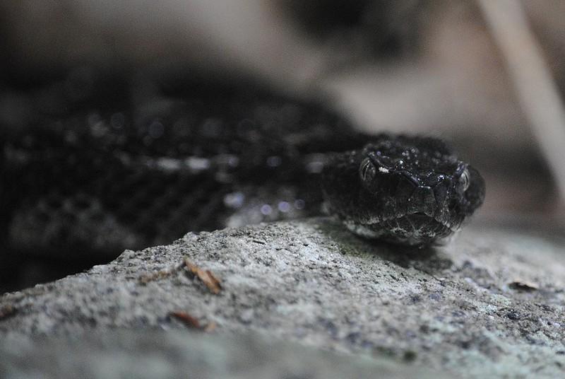 Полосатый гремучник (Rattlesnake)