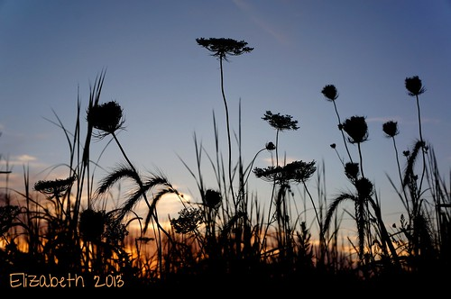 flowers sunset illinois silhouettes queenanneslace