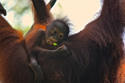 baby orangutan thought: I really am enjoying this snack