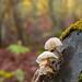 Fall and mushrooms (Bosc de Carlac - Val d'Aran - Lleida - Catalonia - Spain) ©Paco CT