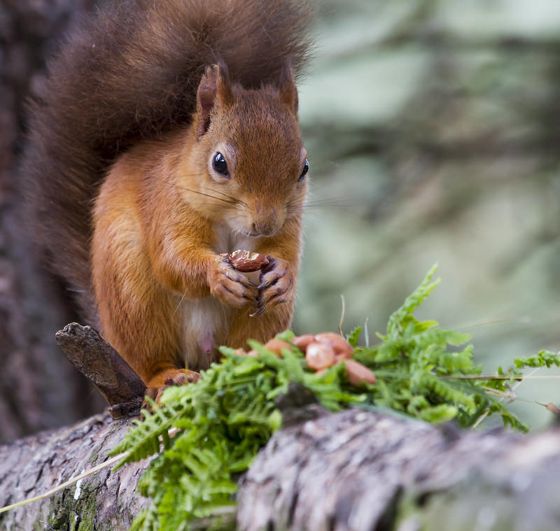 Red Squirrel by deedaw
