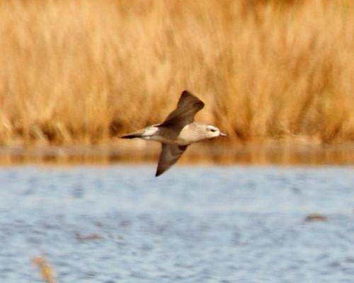 IMG_4502 American Golden Plover in-flight